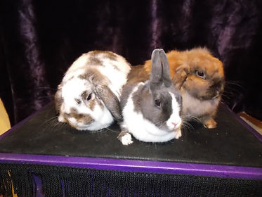Milk Shake, Bubblez and CoCo Puffs the rabbits