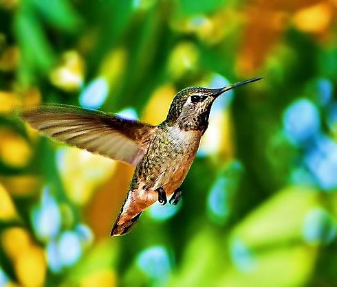 Hummingbird in Flightfinal (1).jpg