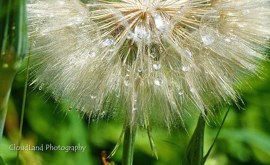 Dewdrops on Dandelion WMC.jpg