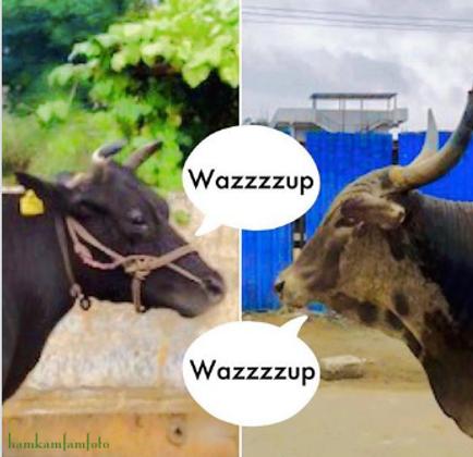 cows talking trash.png