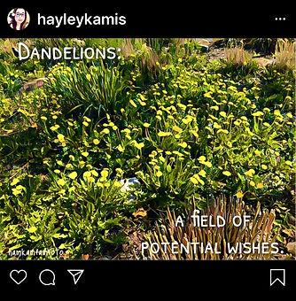 dandelions_edited.jpg