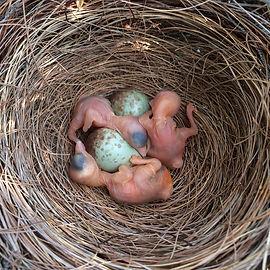 FLSJ_nestlings_eggs_edited.jpg
