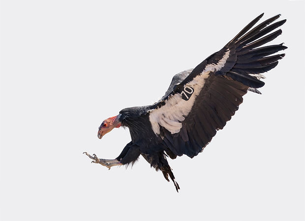 20191015_CaliforniaCondor_0135_ChrisTren