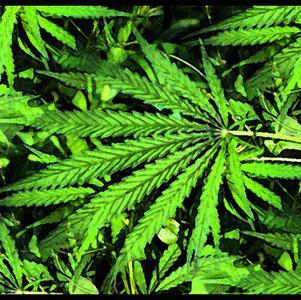 Agencia Antidopaje revisará prohibición del cannabis
