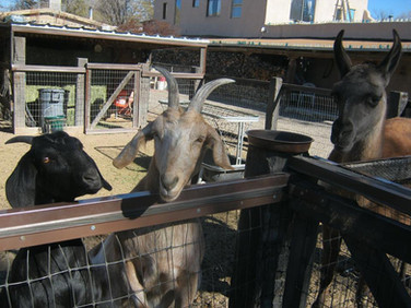 Cerrillos Petting Zoo - Goats
