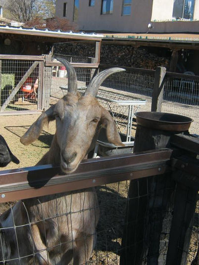 Cerrillos Petting Zoo - Brownie the Goat