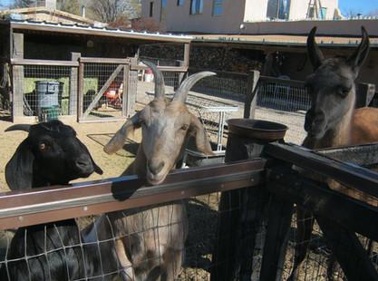 Cerrillos Petting Zoo - Goats
