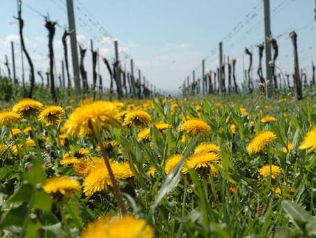 Kamptaler Weinfrühling 2021