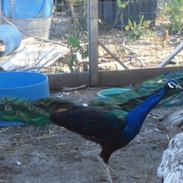 Black shoulder Peacock