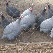 Guineas ( Coral Blue and Pearl)d