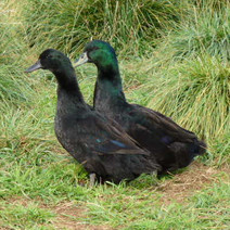 Cayuga duck Pair