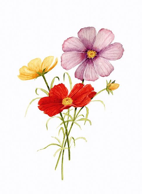 Cosmos Watercolor — Print
