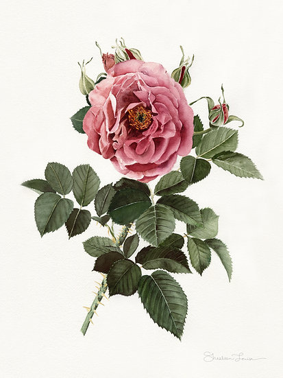 Dusty English Rose Watercolor Painting — Print