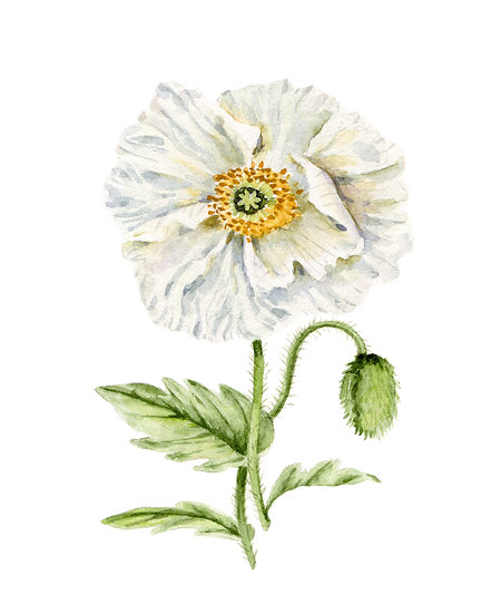 White Icelandic Poppy Watercolor — Print