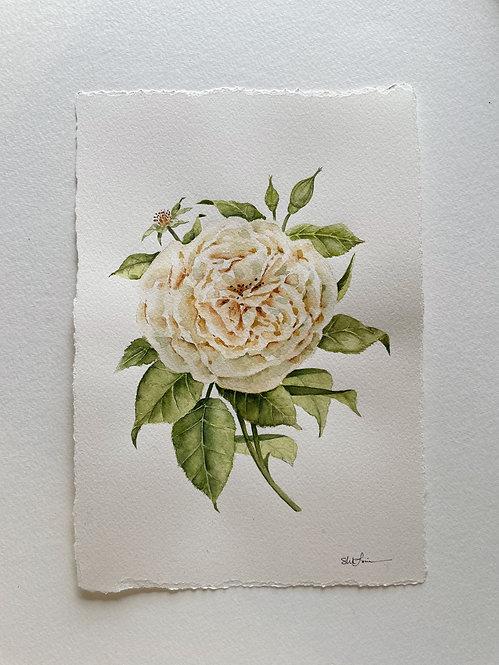 """White Rose"" — 7 x 10 Inches, Original Watercolor"