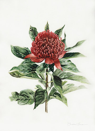 Australian Waratah Flower Watercolor Painting — Print