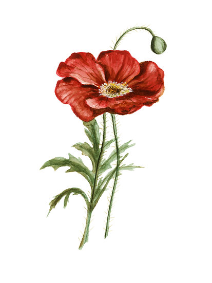 Red Poppy Watercolor — Print
