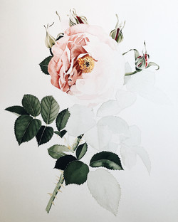 English Rose in Process