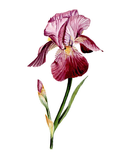 Purple Bearded Iris Watercolor — Print