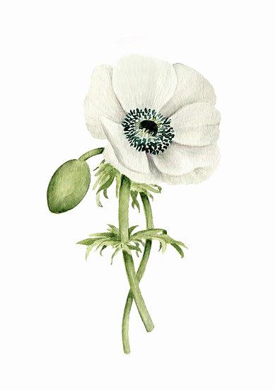 White Anemone Watercolor — Print