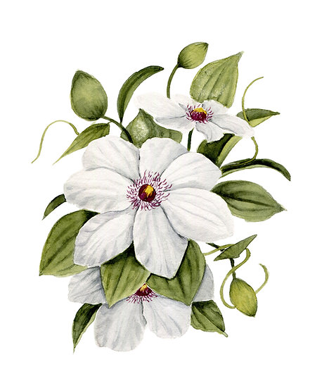 White Clematis Watercolor — Print