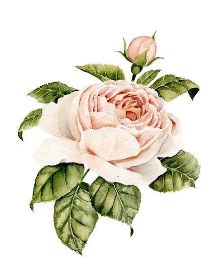 Pink Garden Rose Watercolor — Print