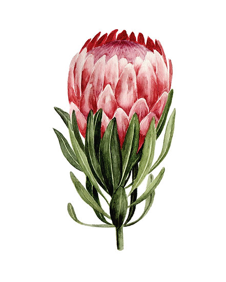 Pink Protea Watercolor — Print