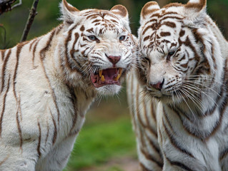 Animal Rights Group Wins Free Speech Case Involving Tiger Exhibit