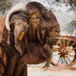 Kalahari Red Auction