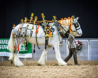 Shire Horse Display