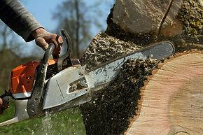Chainsaw felling tree