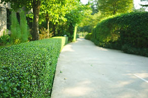 Well groomed hedge by pathway