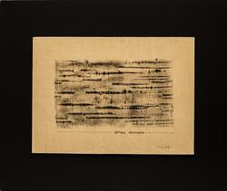 Betula Papyfera
