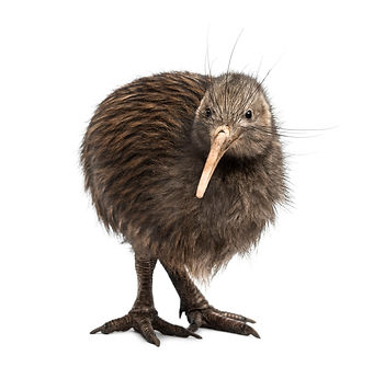 a little brown kiwi from New Zealand