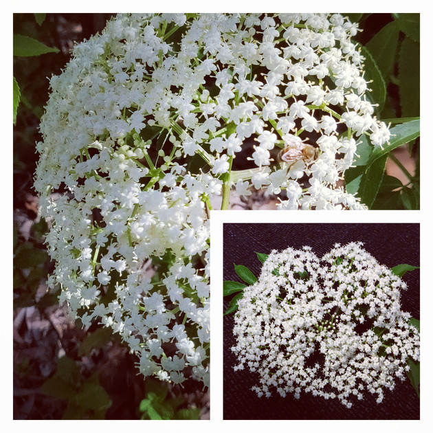 Home Grown Elderflower