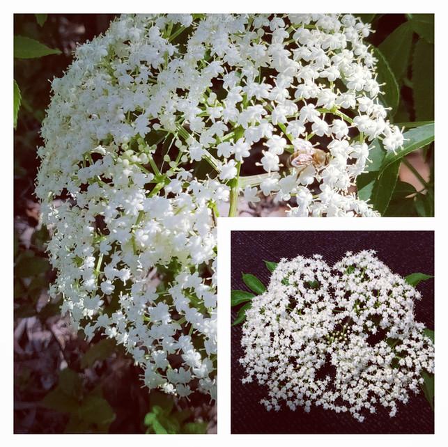 Home Grown Elderflower