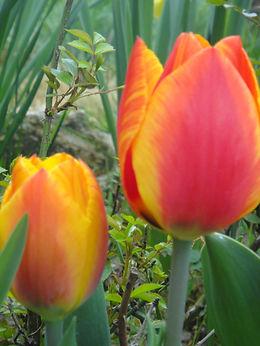 STAGE DE TANTRA AVEC TANTRACOEUR au coeur de la tulipe