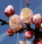 """""""Emotion du cerisier"""" pour les stages tantracoeur"""