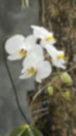 """""""L'orchidée, femme voluptueuse"""" pour Tantracoeur"""