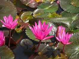 """""""L'esprit Zen en fleur de lotus"""" pour les stages Tantracoeur"""