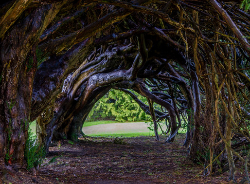 Under the Yew Tree