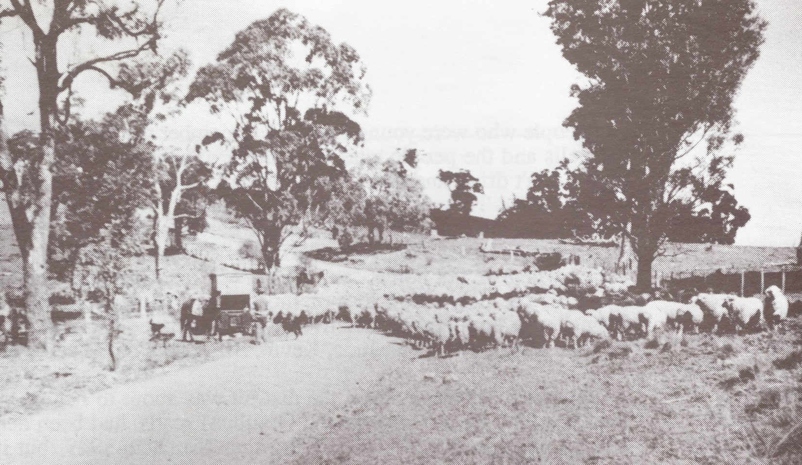 Droving sheep on the Rockley road at Bla