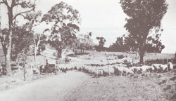 Droving sheep on the Rockley Road