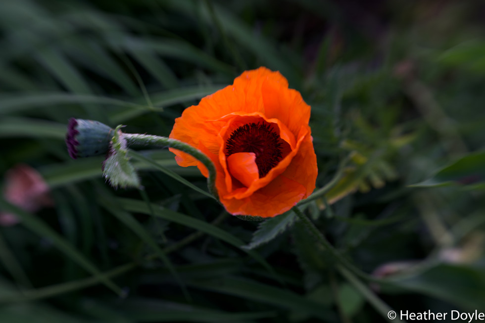 Poppy and seed pod