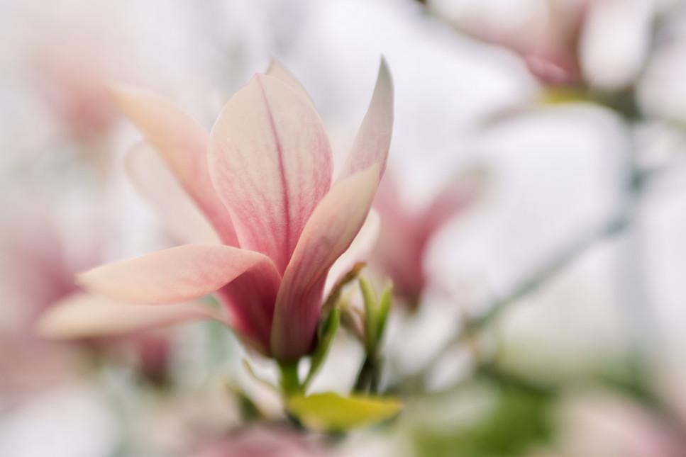 Single magnolia blossom