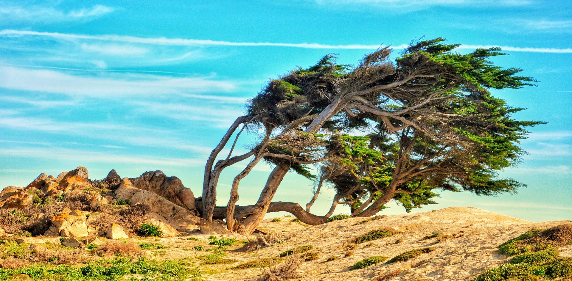 Windblown cypress