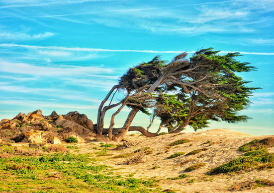 Windswept cypress