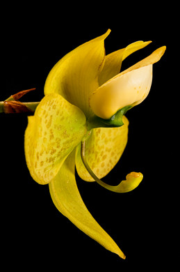 Swan Orchid