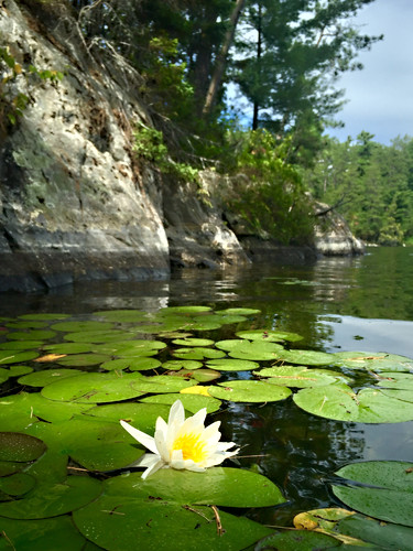 Lily pad and flower, Triangle Bay