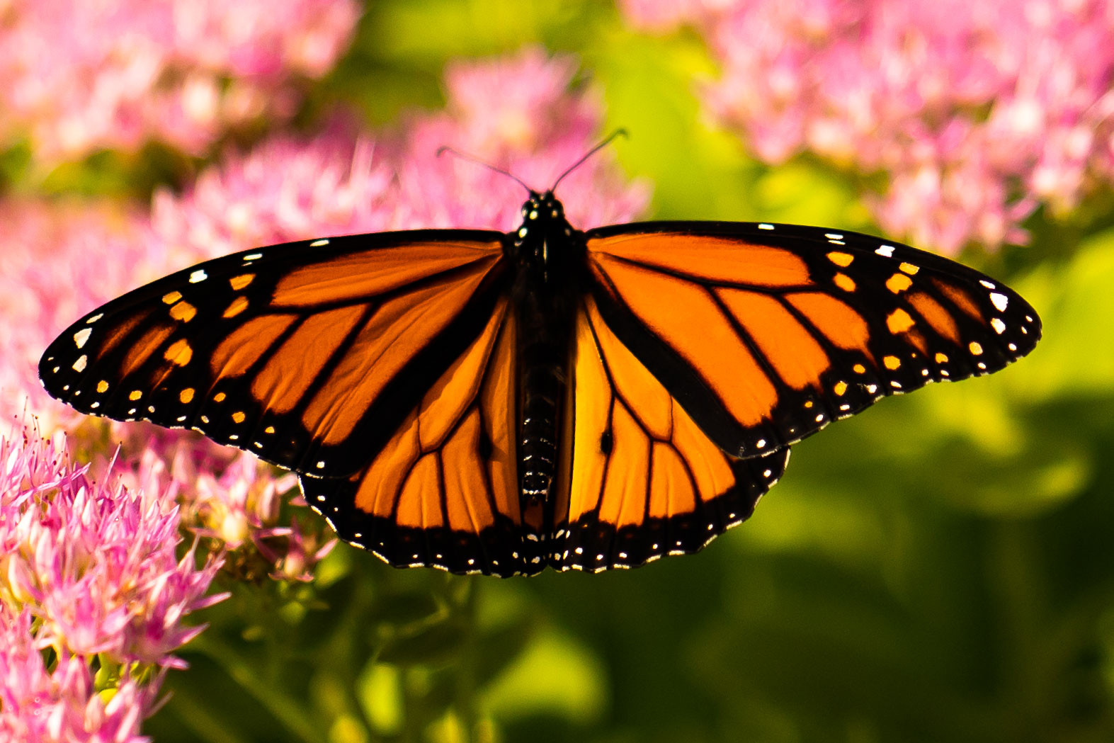 Monarch with stained glass wings